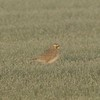 Horned Lark in Fog @ Keeteman Road Sod Farm