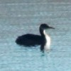 Red-necked Grebe @ Riverlands MBS (Ellis Bay)