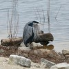 Great Blue Heron @ Riverlands MBS (Ellis Bay)
