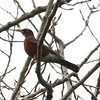 American Robin @ Carlyle Lake (Spillway Woods Trail)