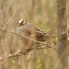 White-crowned Sparrow @ Simpson Lake CP