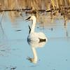 Trumpeter Swan @ Riverlands MBS (Heron Pond)