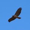 Red-tailed Hawk @ August Busch CA