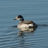Horned Grebe @ Riverlands MBS (Ellis Bay)