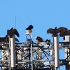 Turkey Vultures @ Plant Materials Center