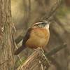 Carolina Wren @ Simpson Lake CP