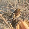Savannah Sparrow @ Keeteman Road Sod Farm