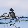 Belted Kingfisher @ August Busch CA