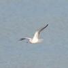 Bonaparte's Gull @ Riverlands MBS