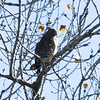 Red-shouldered Hawk @ Creve Coeur CP