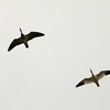 Snow Geese over Carlyle Lake (Saddle Dam Road)