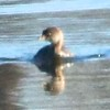 Pied-billed Grebe @ Riverlands MBS (Ellis Bay)
