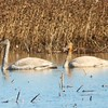 Tundra Swans @ Riverlands MBS (Heron Pond)