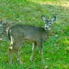 White-tailed Deer @ Country Field Yard in Chesterfield