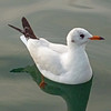 2017_black-headed gull_ Bodensee and Zurichsee_Oct_P1060795