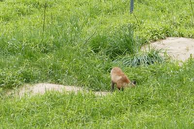 2017 Fox pups