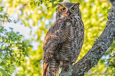 Great Horned Owl (name is Athena)...April 23, 2017