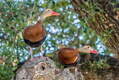 Black-Bellied Whistling Ducks...May 1, 2017