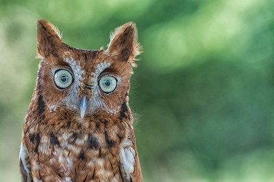 Screech Owl...June 8, 2017