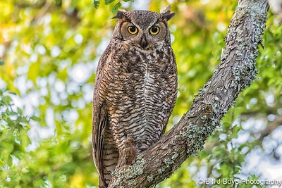 Great Horned Owl...April 24, 2017