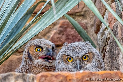 Baby Great Horned Owls (7-weeks old)...April 27, 2017