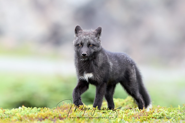 Silver Fox Kit walking in Newfoundland, Canada