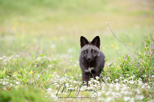 Silver Fox Kit in Newfoundland, Canada