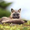 Cross Fox Vixen resting in Newfoundland, Canada