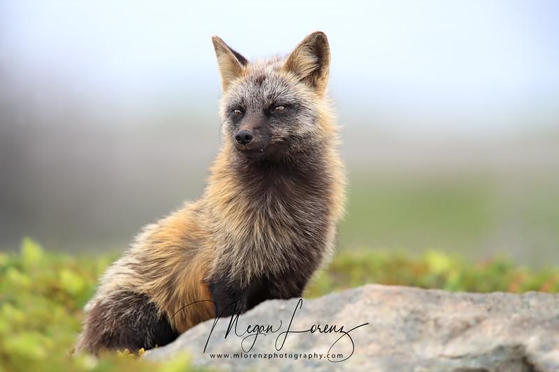 Cross Fox Vixen in Newfoundland, Canada
