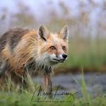 Wild Red Fox in Newfoundland, Canada