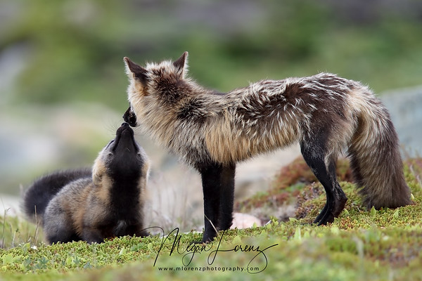 Cross Fox Vixen and kit in Newfoundland, Canada