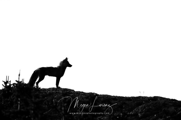 Cross Fox Silhouette in Newfoundland, Canada.