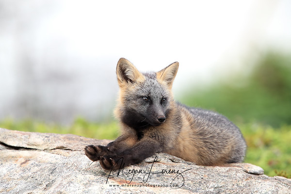 Cross Fox Kit laying on a rock in Newfoundland, Canada