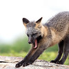 Wild Cross Fox Kit stretching and yawning on a rock in Newfoundland, Canada