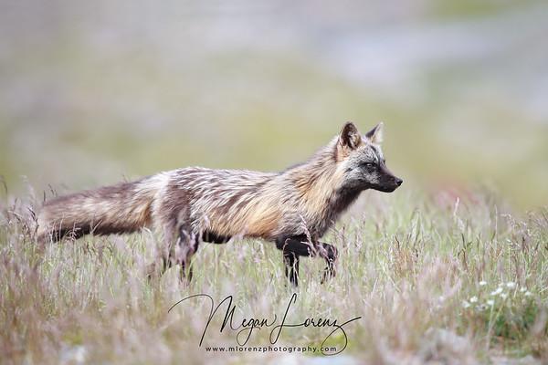 Wild Cross Fox in Newfoundland, Canada