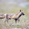 Wild Cross Fox in Newfoundland, Canada