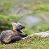 Cross Fox Kit yawning while laying on a rock in Newfoundland, Canada