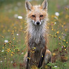 Wet Red Fox Vixen after a rainstorm in Newfoundland, Canada.