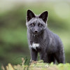 Silver Fox Kit (melanistic form of red fox Vulpes vulpes) in Newfoundland, Canada