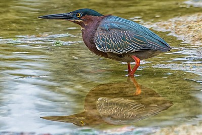 Green Heron...McKinney Falls SP, Texas...May 17, 2017