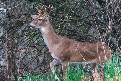 Backyard Deer...Austin, Texas...February 2017