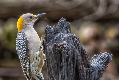 Golden-Fronted Woodpecker...Pedernales Falls SP...Jan 2017