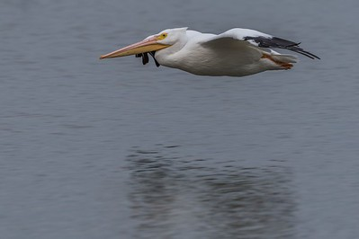 American White Pelican...Dallas, Texas...2017