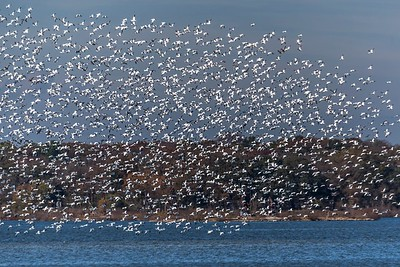 Snow Geese...Hagerman NWR, Texas...November 10, 2017
