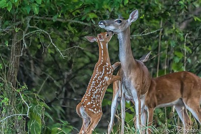 Fawn...My Austin Backyard...July 11, 2017