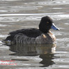 Tufted Duck (Female)