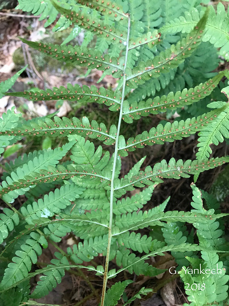 Dryopteridaceae (Wood Fern) Family