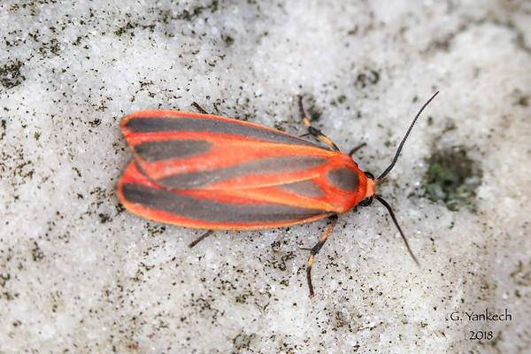 Scarlett-winged Lichen Moth, Hypoprepia miniata