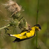 Goldfinch eating thistle seed.