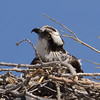 Female Osprey sitting on the nest waiting and listening for her mate.